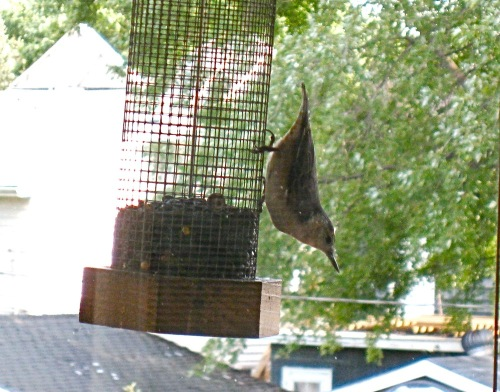 Nuthatch_at_the_feeder